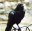 corvusjoyous: crow