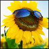 sunglassflower