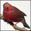 Marisolita: redbird