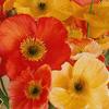 Orange Glow Poppies