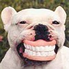 Pittbull with teeth
