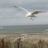whitby gull