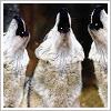 cindy: wolf chorus (by bunnymcfoo)