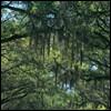 the spanish moss of DOOOOM