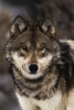 wolf_n