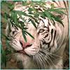mr_tigra userpic