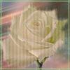 Photo- rose