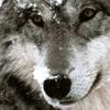 волк, волчара, рррррр