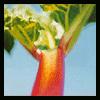 _rhubarb_