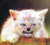 Angelic Symphony Kitten