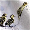 Elle: Baby ducks