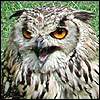 Angus the Angry Owl