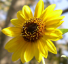 Sunflower C