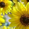 Sunflower D