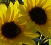 Sunflower E