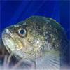 baltpup25: rockfish