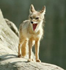 desert fox mouth open