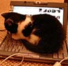 Spam: kitten on laptop