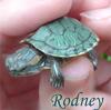 Anna S.: rodney-turtle