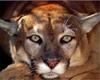 Puma Po