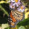 Monarch Butterfly Asheville