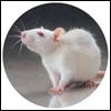 WesleysGirl: rat