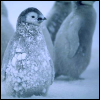 Frosty Penguin