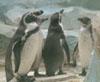 Пингвинье сообщество