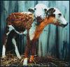 baby cow(s)