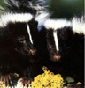 Skunk Furs
