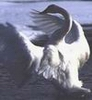gray_swan userpic