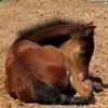 standardbred, horse, foal