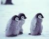 penguinas