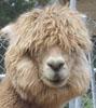 Taly: Alpaca