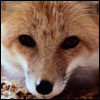 fox_eyes