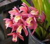trektone: orchidO