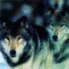 wolvenwonder userpic
