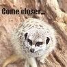 freyaw: evil meerkat