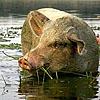 Corwin: Свин