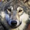 iberian_wolf userpic