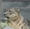 cats - snow leopard