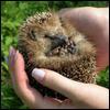 Hedgehog © orcl