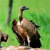axolotl9: vulture