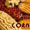 Food: corn (maize)