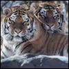 Heliona: tigers