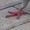 pigeon foot
