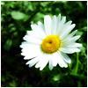 цветок, весна, ромашка
