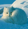 Arctic Fox - blue