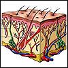 Sudoriferous gland