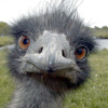 Animals - Tuijottava emu